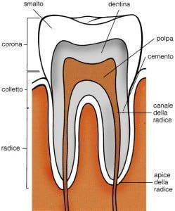 Devitalizzare un dente - anatomia del dente