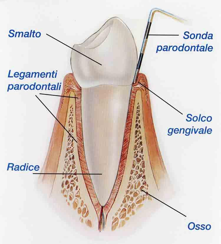 Anatomia parodonto